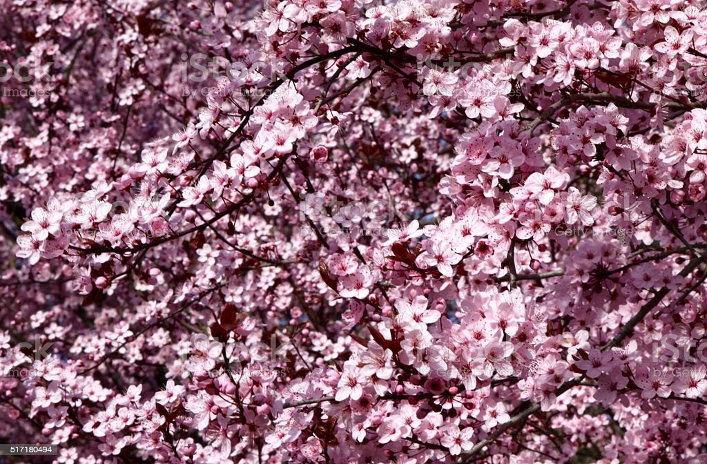 Spring Bloom On A Blossoming Plum Tree stock photo