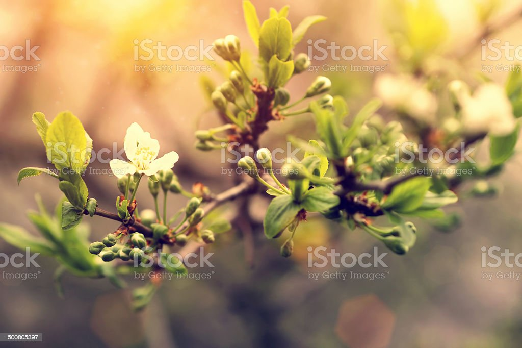 spring blooming apricot tree at sunrise stock photo