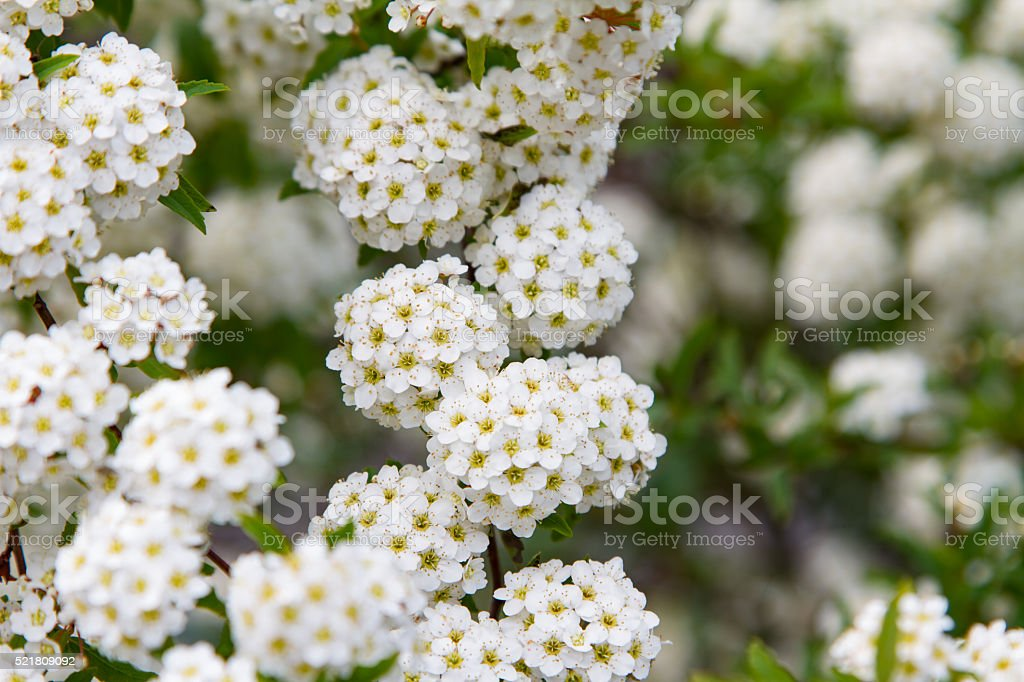 spring blooming guelder-rose shrub, round white flowers stock photo