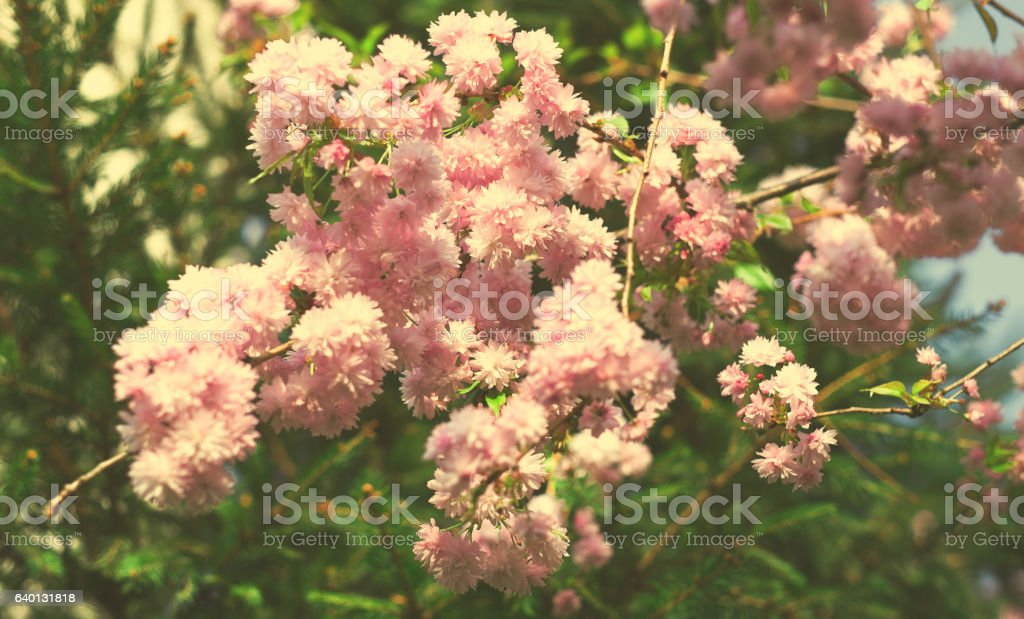 Spring blooming pink flowers on tree, nature background stock photo