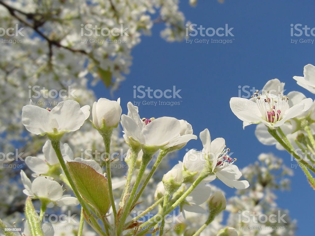 Spring Blooms royalty-free stock photo