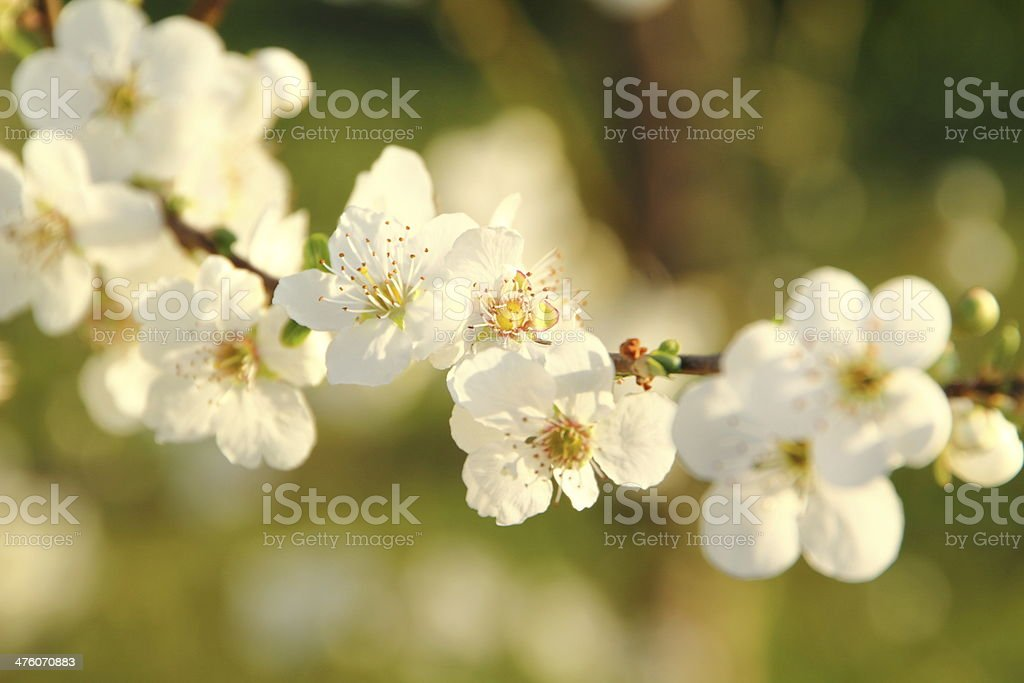 spring blossom close up royalty-free stock photo