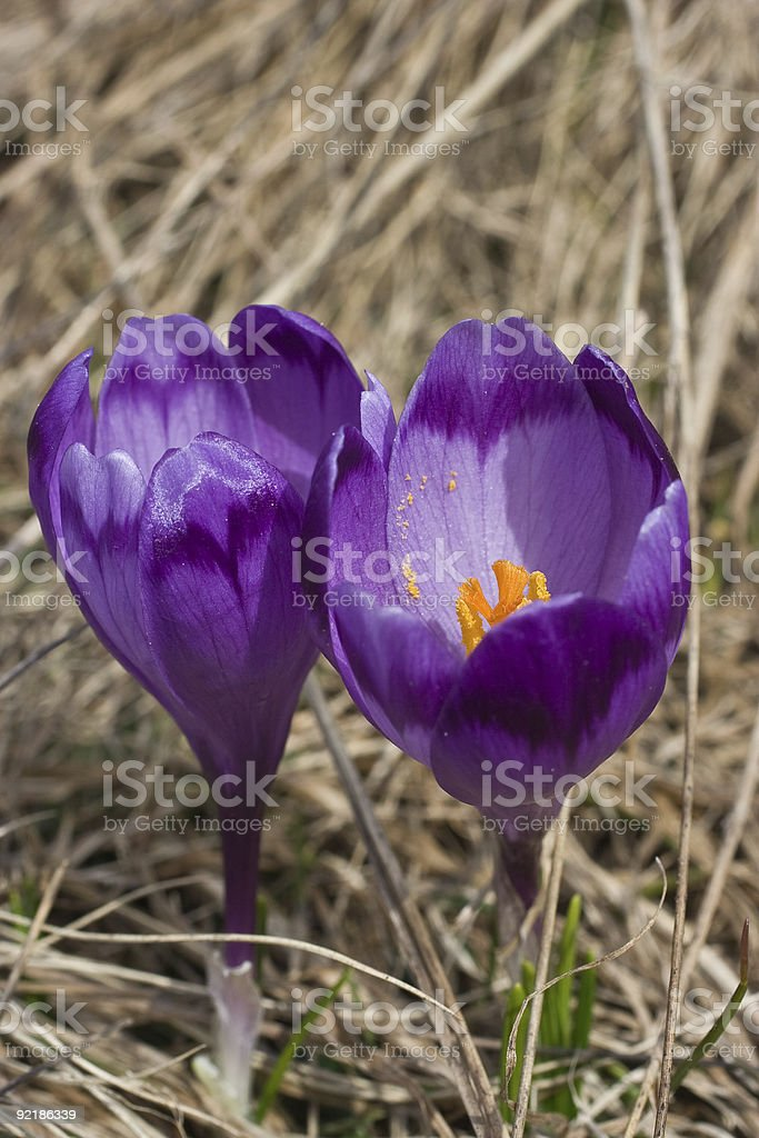 Spring blossom of mountain crocuses royalty-free stock photo