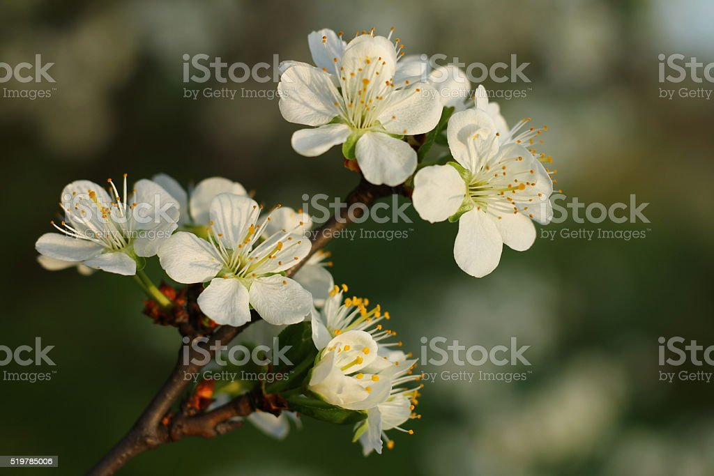 Spring blossom on plum tree in the garden stock photo