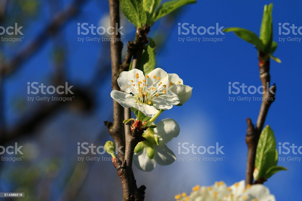 Spring blossom on plum tree with blue sky in background stock photo
