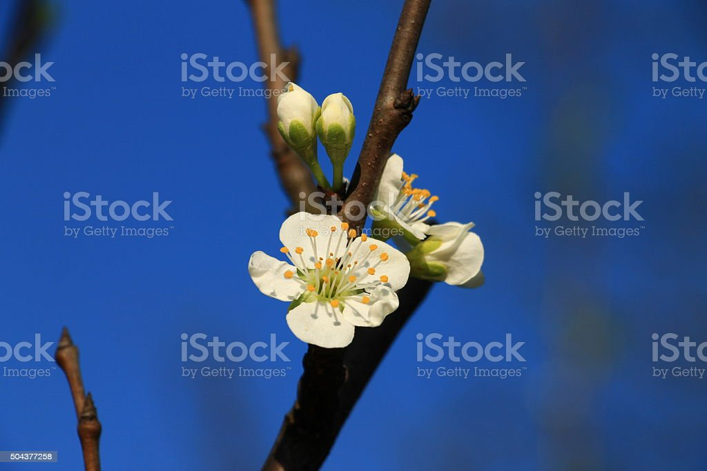 Spring blossom on plum tree with blue sky stock photo