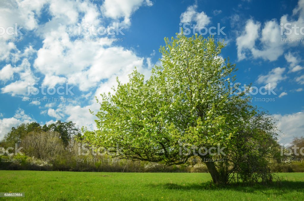 Spring blossom pear tree under blue sky full of clouds stock photo