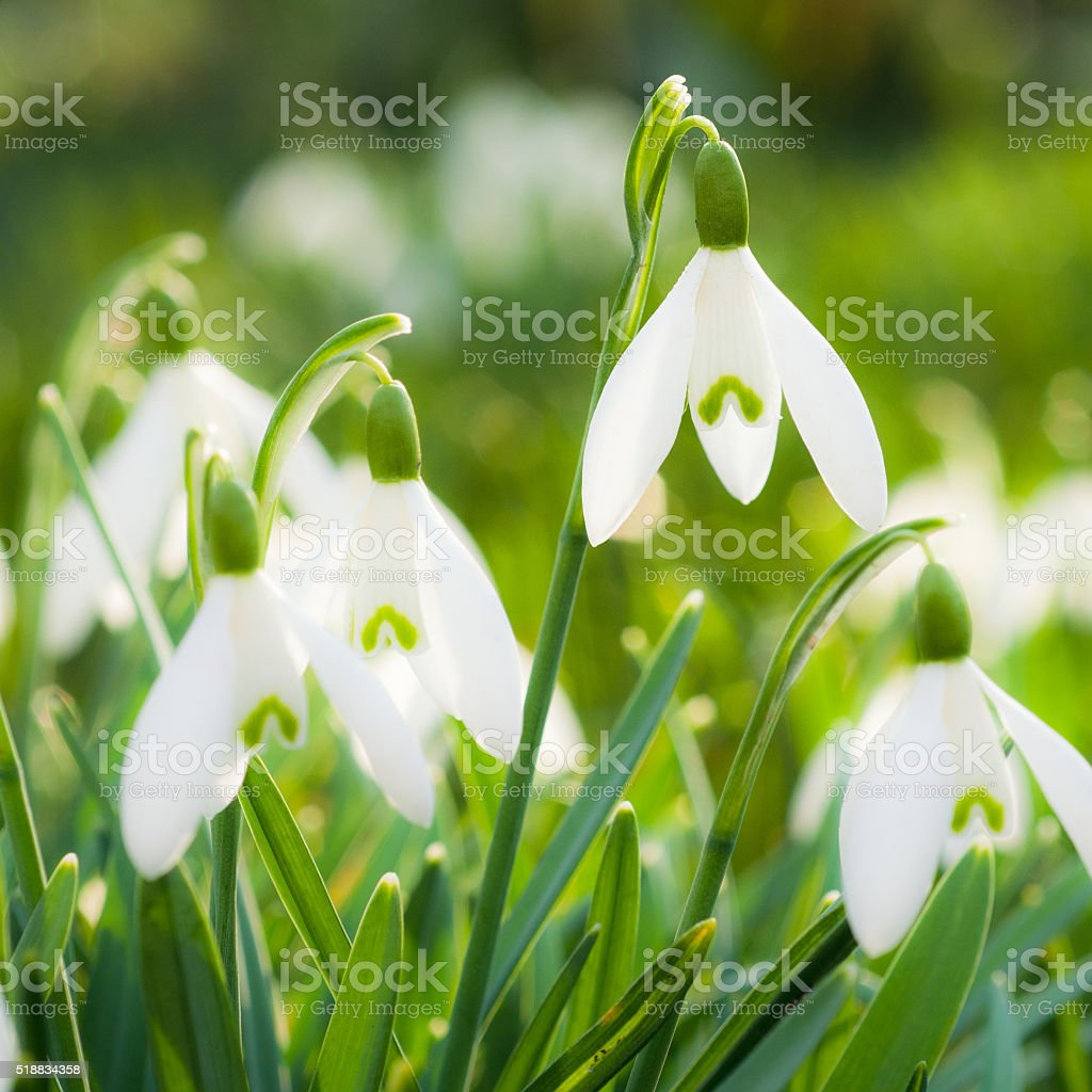 Spring blossom - snowdrop flower macro stock photo