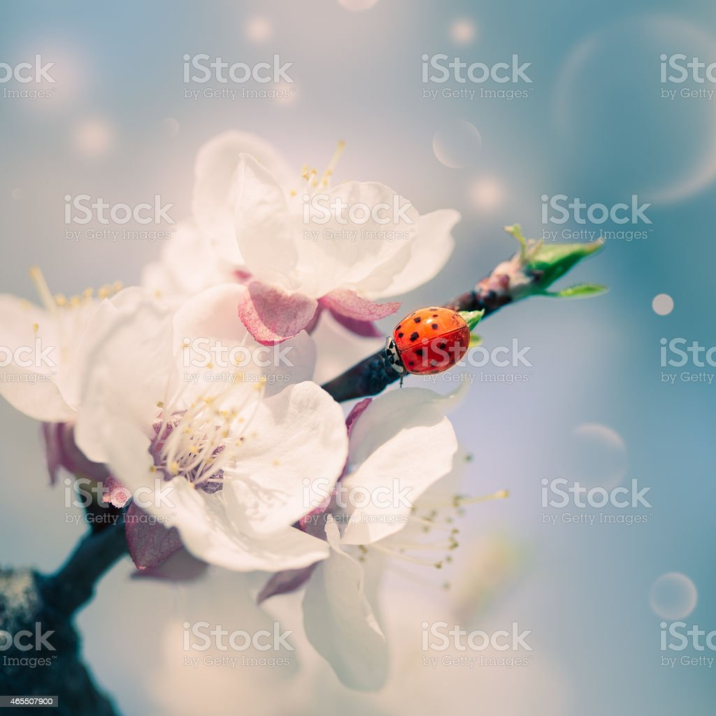 Spring blossom with a ladybug stock photo