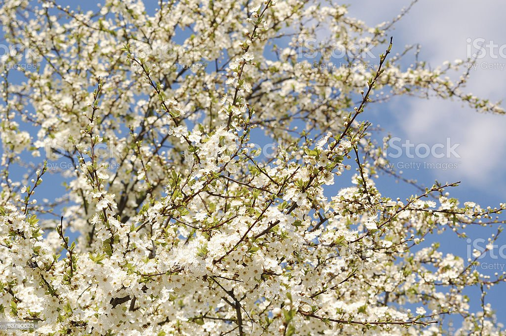 spring blossomed tree stock photo