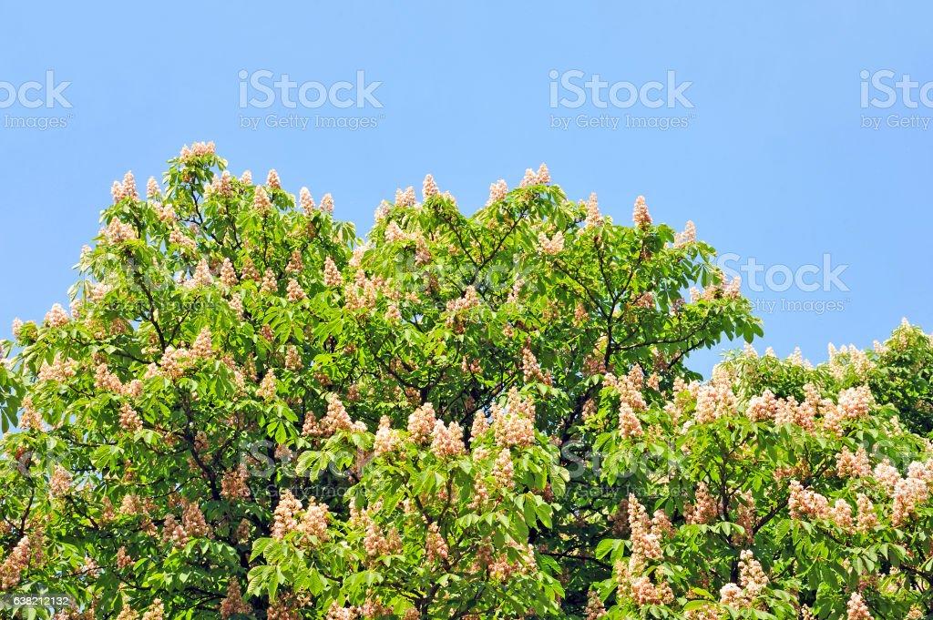 Spring blossoming chestnut (Castanea sativa) flower stock photo