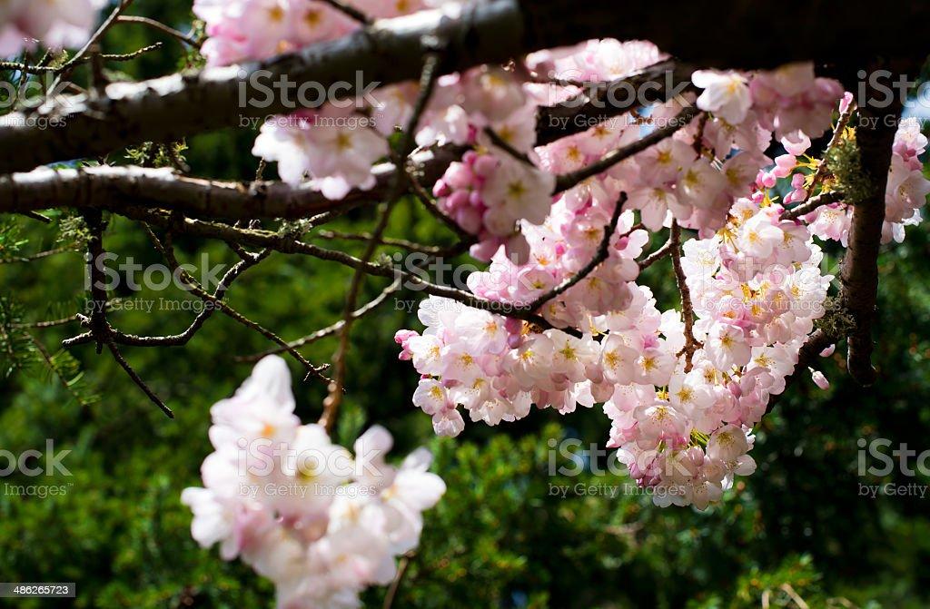 in fiore di primavera nella luce del sole foto stock royalty-free