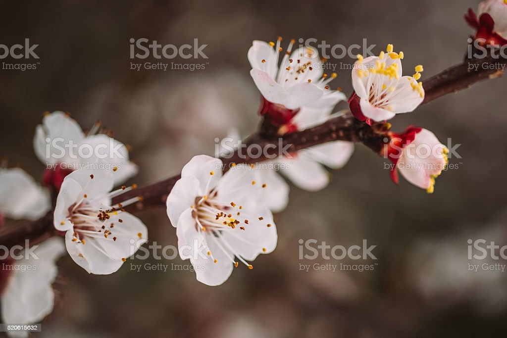 Spring blossoming of an plum tree stock photo