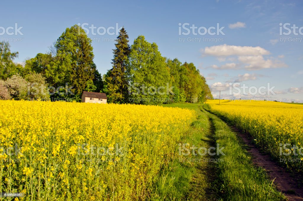 spring blossoming rapeseed fields, road and beehive stock photo
