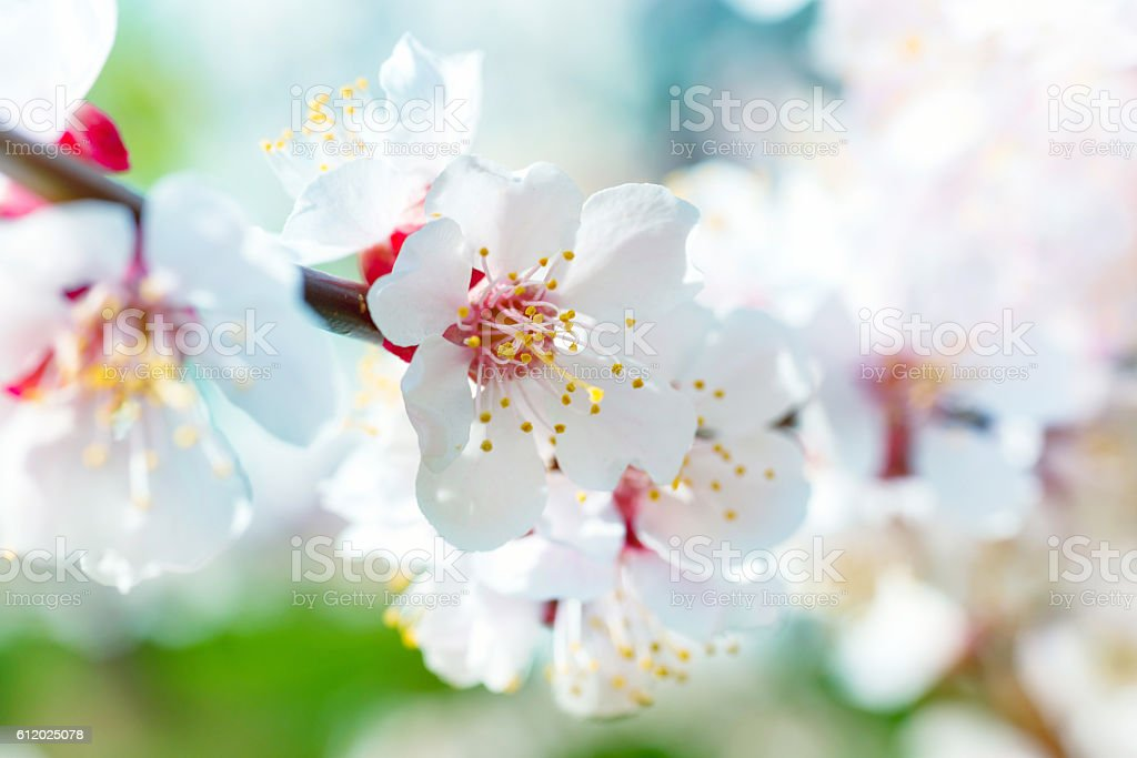 Spring blossoming white spring flowers stock photo