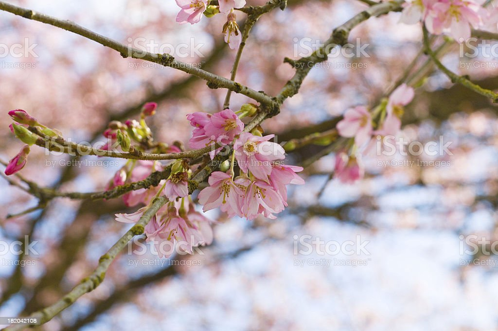 Spring Blossoms 4 royalty-free stock photo