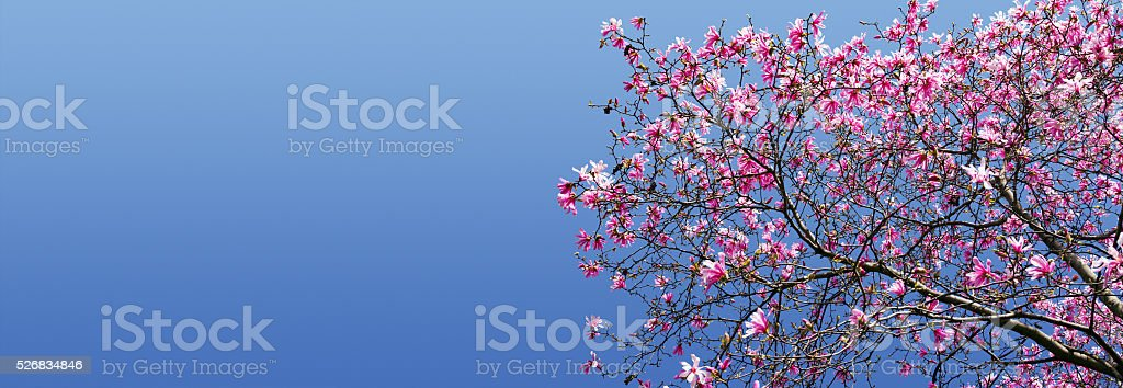 Spring Blossoms Against Blue Sky Background stock photo