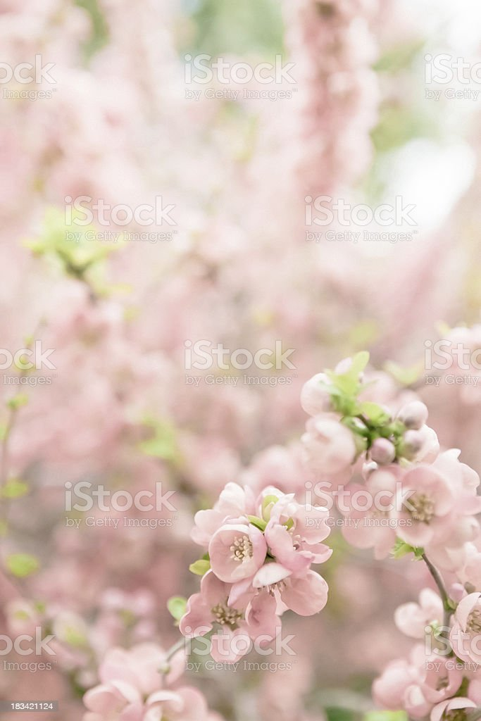 Spring Blossoms - Cottoneaster royalty-free stock photo