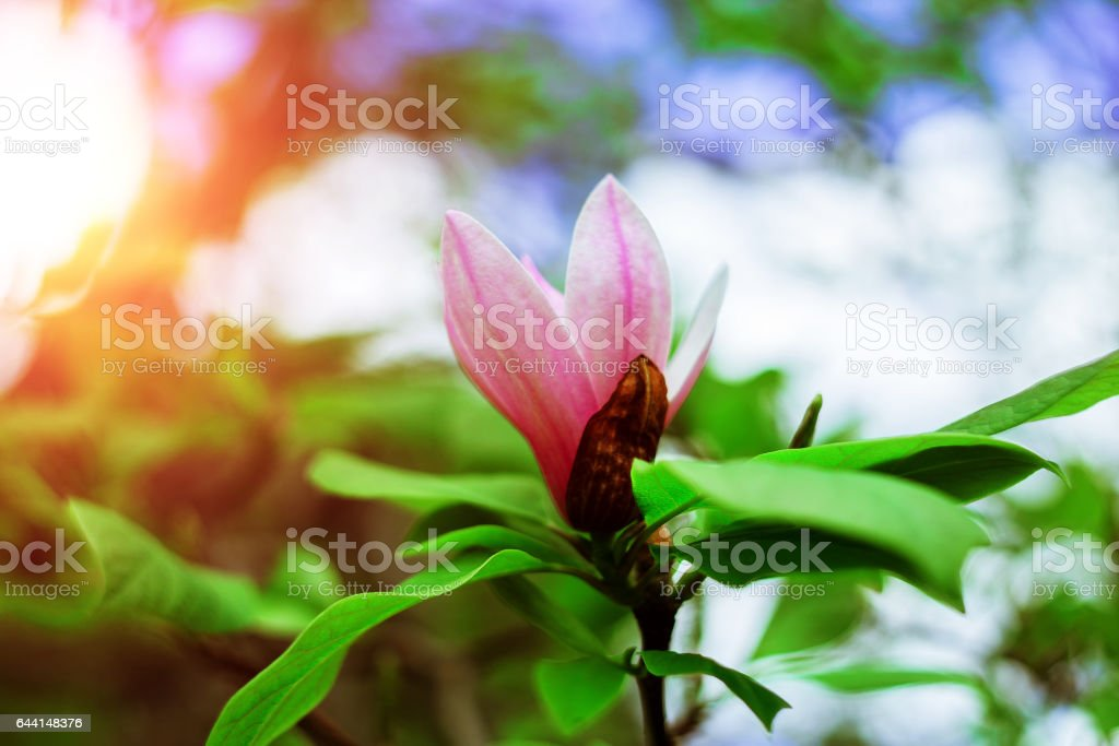 Spring Blossoms of a Magnolia tree stock photo
