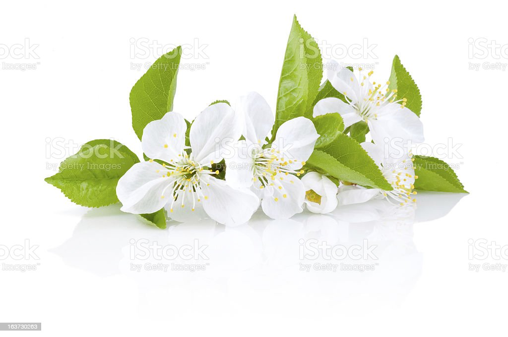 Spring Blossoms of fruit trees Isolated on white background royalty-free stock photo