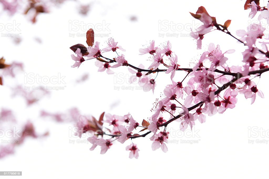 spring blossoms on plum tree branch stock photo