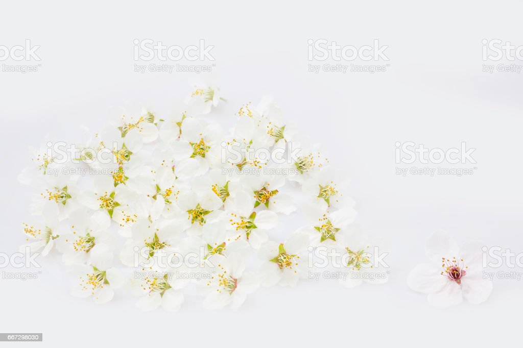 Spring blossoms on white background stock photo