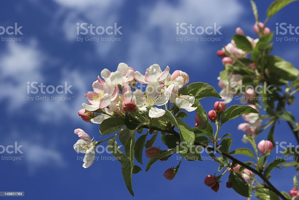 spring blossoms royalty-free stock photo