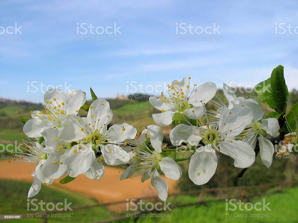 Spring Blossoms White Flowers in Tuscany Fields Nobody royalty-free stock photo