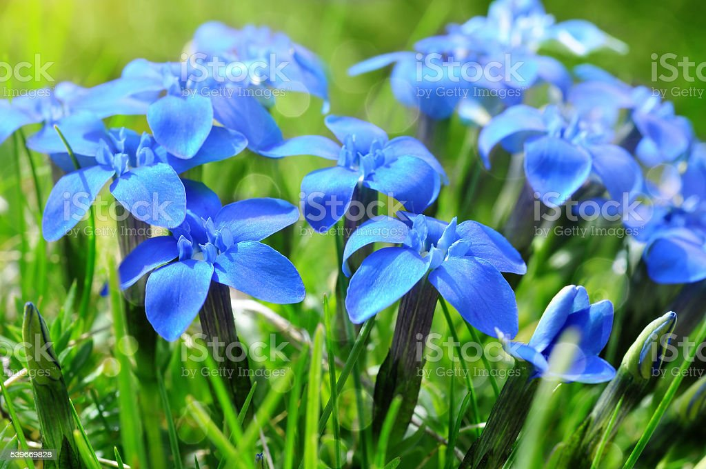 Spring blue gentians in the green grass stock photo