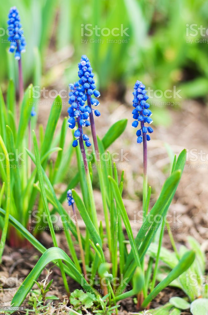 Spring blue muscari flowers stock photo