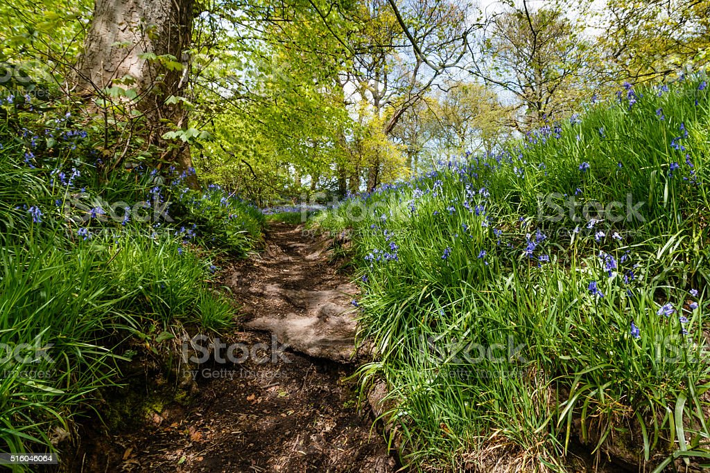 Spring Bluebells in a Sunny Cheshire Wood stock photo