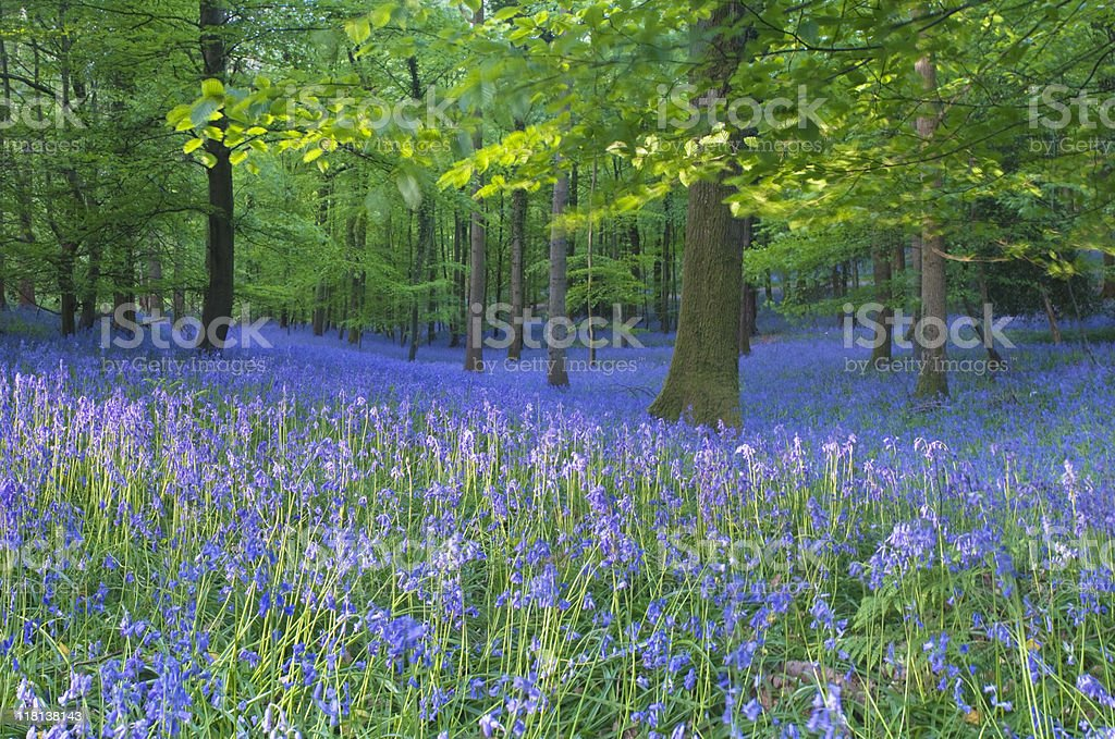 Spring bluebells. stock photo