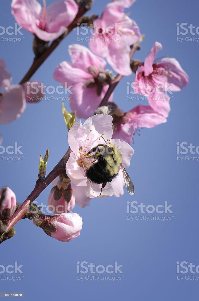 Spring branch - nectarine blossom stock photo