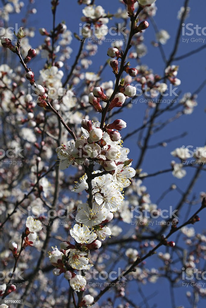 Spring branch of a blossoming tree stock photo