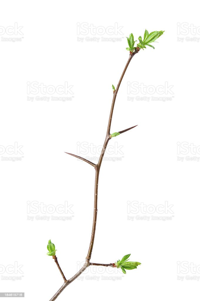Spring branch of hawthorn royalty-free stock photo