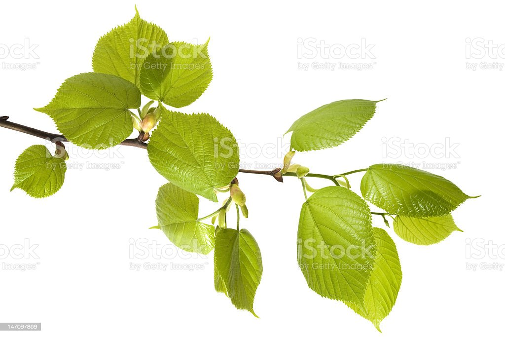 Spring Branch of Linden royalty-free stock photo