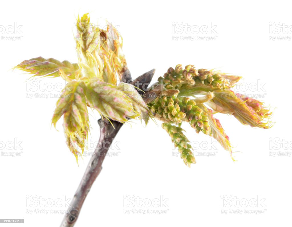Spring branch of oak (Quercus rubra) with young reddish leaves and catkins isolated on white background stock photo