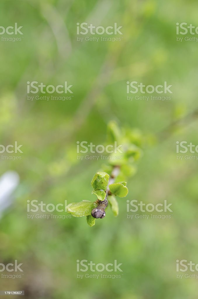 Spring branch of young plum tree royalty-free stock photo