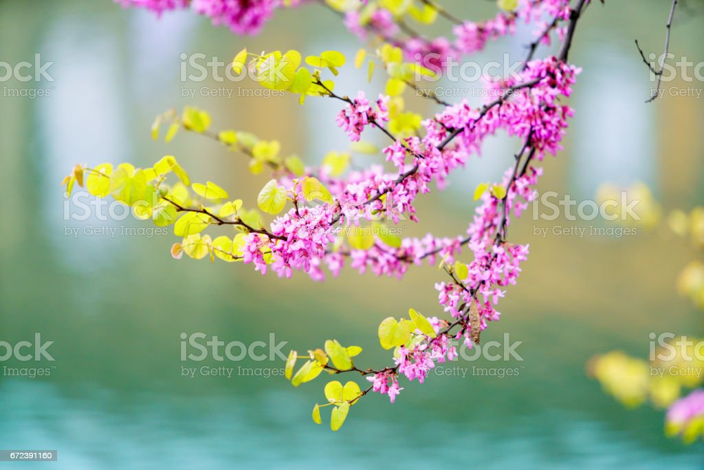 spring branch. Spring blossom background. beautiful nature scene with blooming tree stock photo