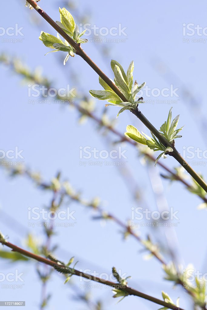spring branch with budding new leaves royalty-free stock photo
