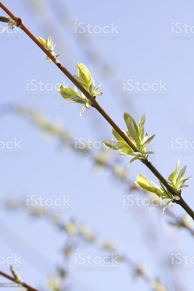 spring branch with new budding leaves royalty-free stock photo