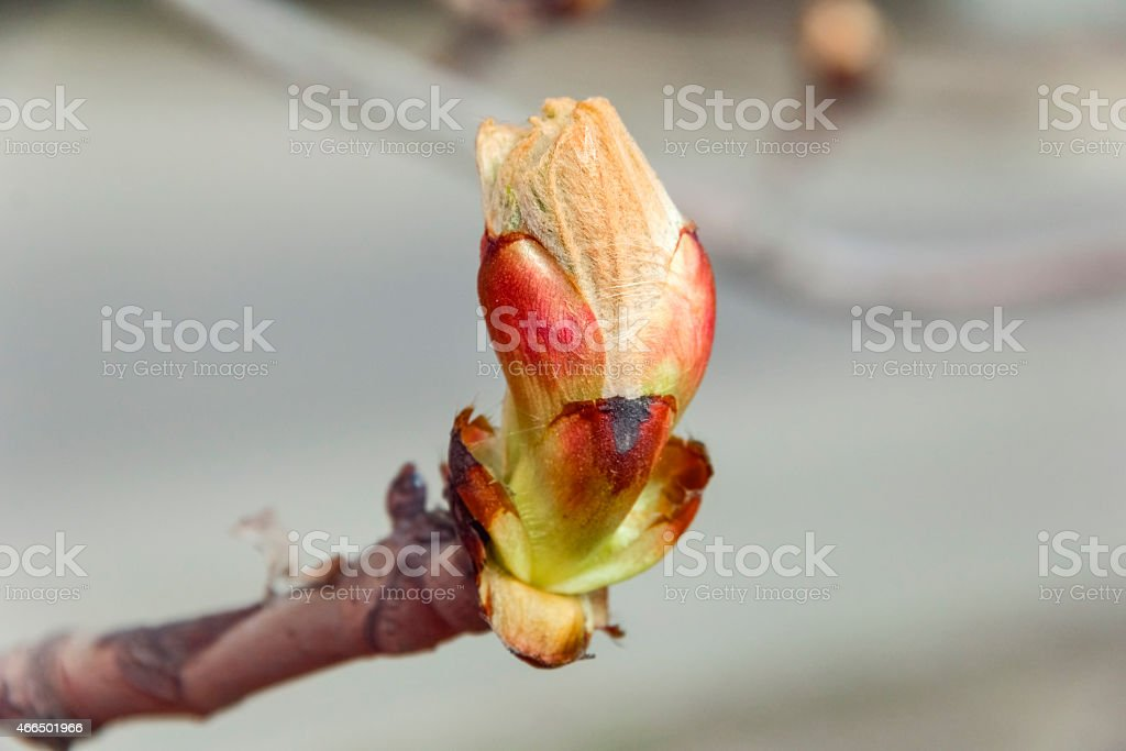 Spring bud chestnut branch day stock photo