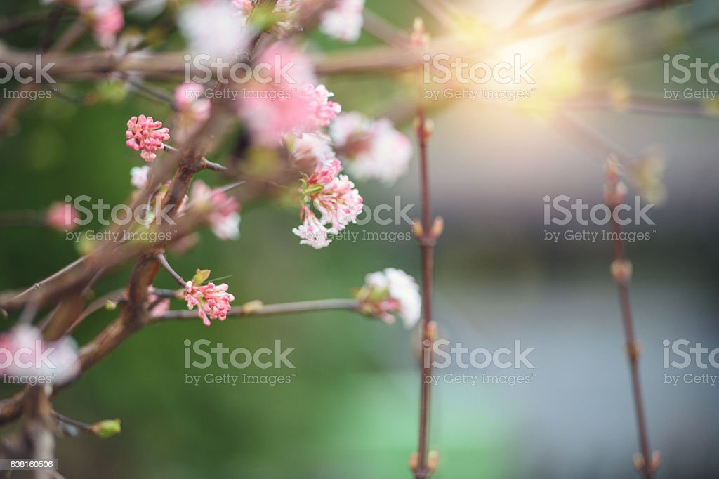 Spring buds in morning light stock photo