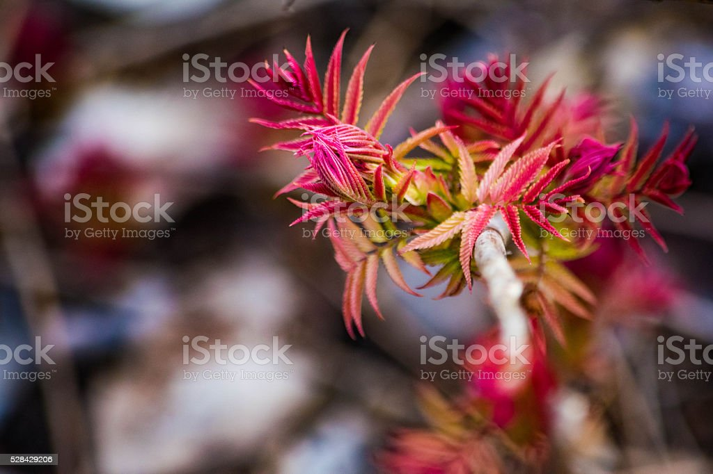 Spring Buds on trees royalty-free stock photo