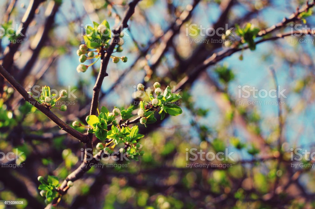 Spring buds stock photo