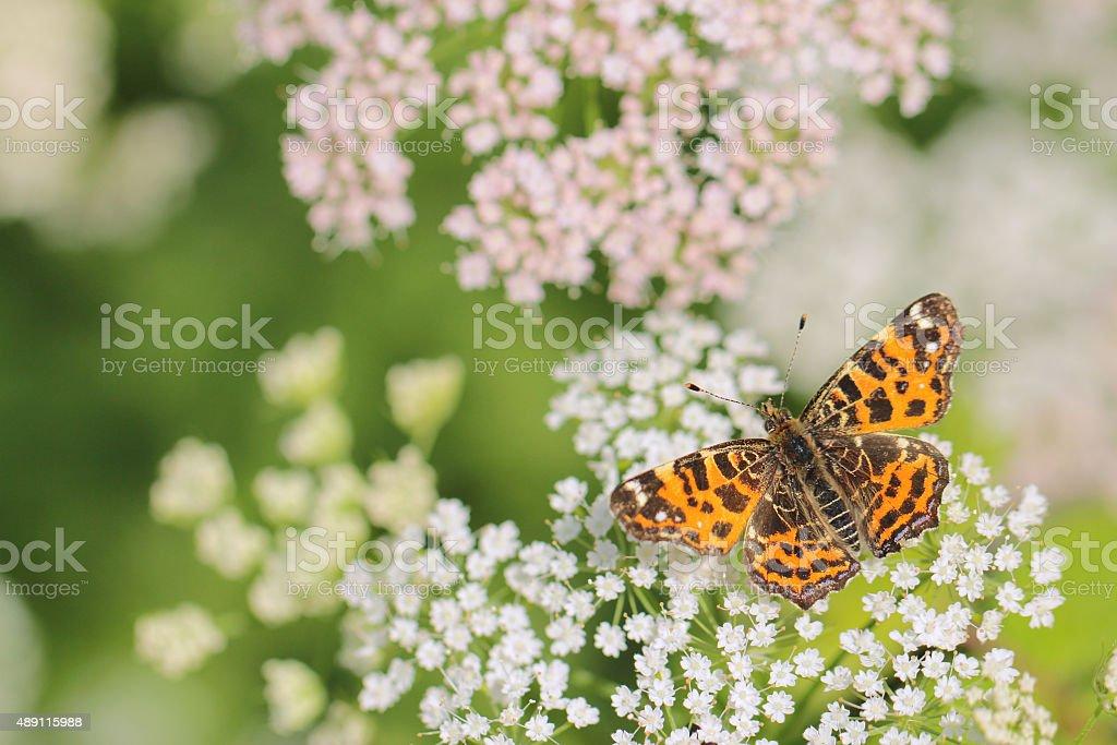 Spring butterfly - Araschnia levana stock photo