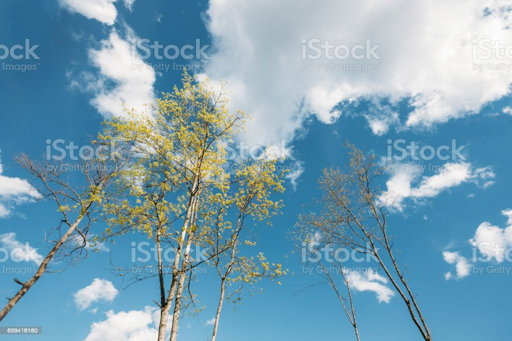Spring Canopy Of Tall Young Trees. Sunny Day. Upper Branches Of Tree With Fresh Green Foliage stock photo