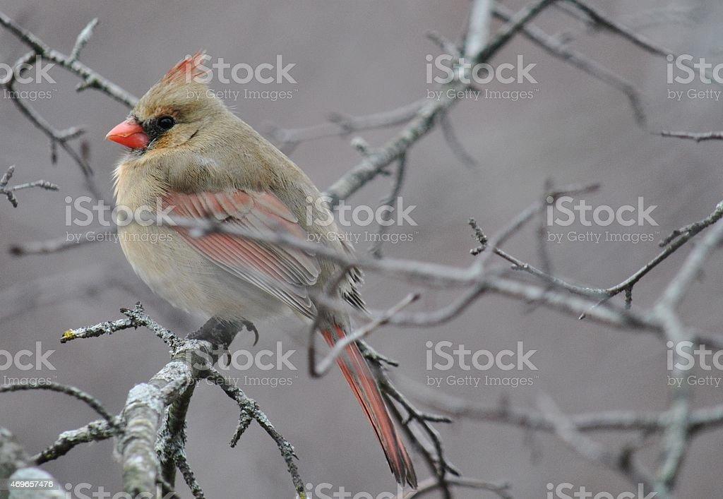 Spring Cardinal - Female stock photo