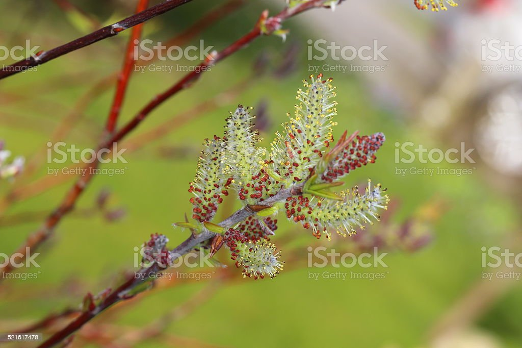 Spring - catkins buds on willow tree stock photo