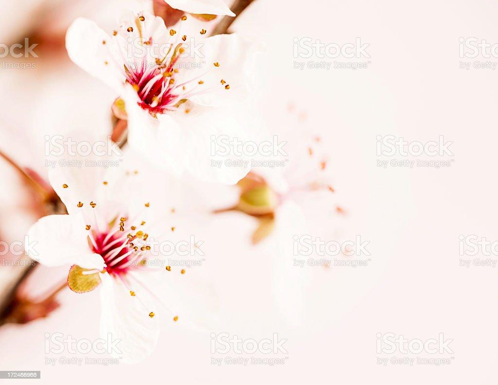 Spring Cherry Blossom royalty-free stock photo